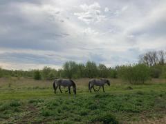 (foto konikpaarden (c) Wim De Maeyer)
