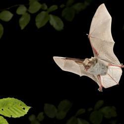 Myotis bechsteinii Bechsteins vleermuis