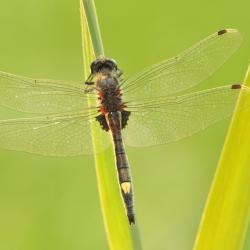 Mannetje Gevlekte witsnuitlibel Leucorrhinia pectoralis