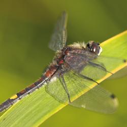 Gevlekte witsnuitlibel (Leucorrhinia pectoralis)