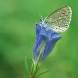 Klokjesgentiaan en Gentiaanblauwtje
