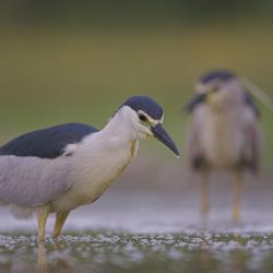 De Kwak is een kleine reigerachtige die broedt in moerasbossen langs grote rivieren en vijvers.