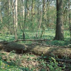 het Kraaibosje te Leut is het enige voorbeeld in Vlaanderen van goed ontwikkeld hardhoutooibos.