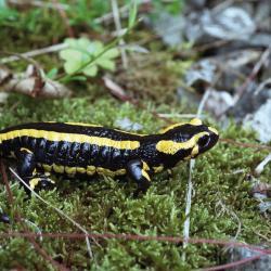 Vuursalamanders planten zich voort in bronbeken en bospoelen. De rest van het jaar leven ze in het omringende bos op plekken met veel schuilmogelijkheden (bv. dood hout).