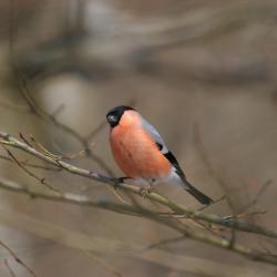 De Goudvink is in Vlaanderen een schaarse broedvogel in diverse bostypes, op voorwaarde dat er een weelderige ondergroei aanwezig is.