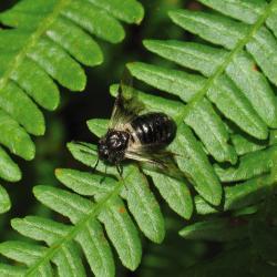 De Kamperfolieknoopwesp, een van de vele insectensoorten die van Kamperfoelie afhankelijk zijn.
