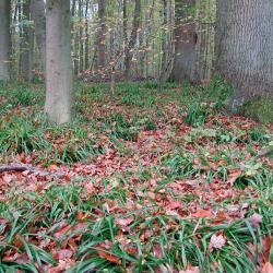 Grote veldbies-Beukenbos in het Zonienwoud (Hoeilaart).