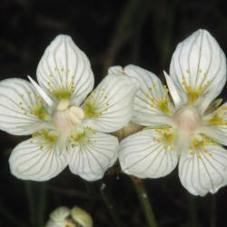 Parnassia komt voor in kalkmoeras, kalkrijk blauwgrasland en vochtige duinpannen.