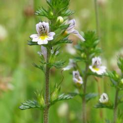 Stijve ogentroost is een eenjarige halfparasiet van droog tot vochtig, heischraal grasland.