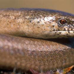 De Hazelworm, een pootloze hagedis, komt vooral voor in open bossen en struwelen.