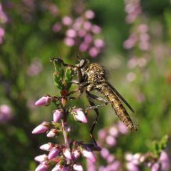 Veel roofvliegensoorten zijn warmteminnend. Droge heideterreinen zijn zeer zijk aan soorten, waaronder de Ringpootroofvlieg Machimus cingulatus.
