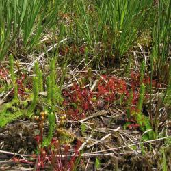 Plagplekken in de natte heide met pioniersoorten als Moeraswolfsklauw en Kleine zonnedauw worden tot habitattype 7150 gerekend.