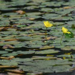 Watergentiaan is een begeleidende soort van het habitattype. Door waterverontreiniging zijn vele vindplaatsen in Vlaanderen verdwenen.