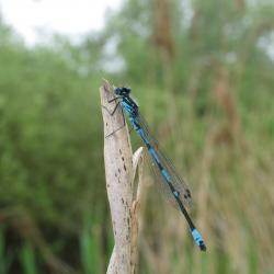 De Variabele waterjuffer is een bedreigde waterjuffer van dit habitattype.