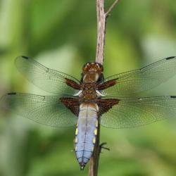 De Platbuik behoort tot de meer algemene libellensoorten, die vooral aan eutrofe wateren gebonden zijn.