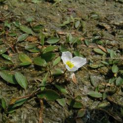 Drijvende waterweegbree, een bijlage 2-soort van de Habitatrichtlijn, kan ook in dit habitattype voorkomen.