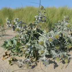 Blauwe zeedistel is een wettelijk beschermde plant van de Schermbloemfamilie en pronkstuk van het zeereepduin.