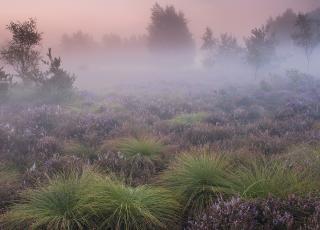 Heideveld met pijpenstrootje Grote Schietvelden © Roger Laps