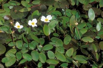 Drijvende waterweegbree (Luronium natans)