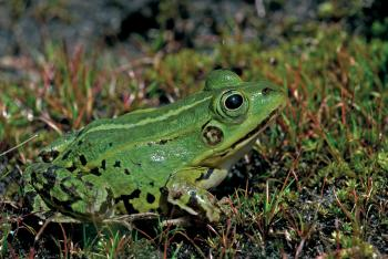 Poelkikker of Kleine groene kikker (Rana lessonae)