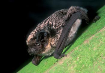 Tweekleurige vleermuis (Vespertilio murinus)