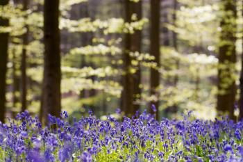 Beukenbos met Wilde hyacint