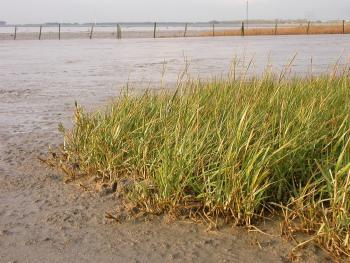 Engels slijkgras langs de Beneden-Zeeschelde